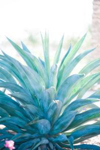 agave-001